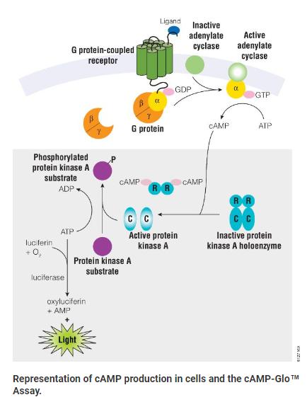 GPCR Assays